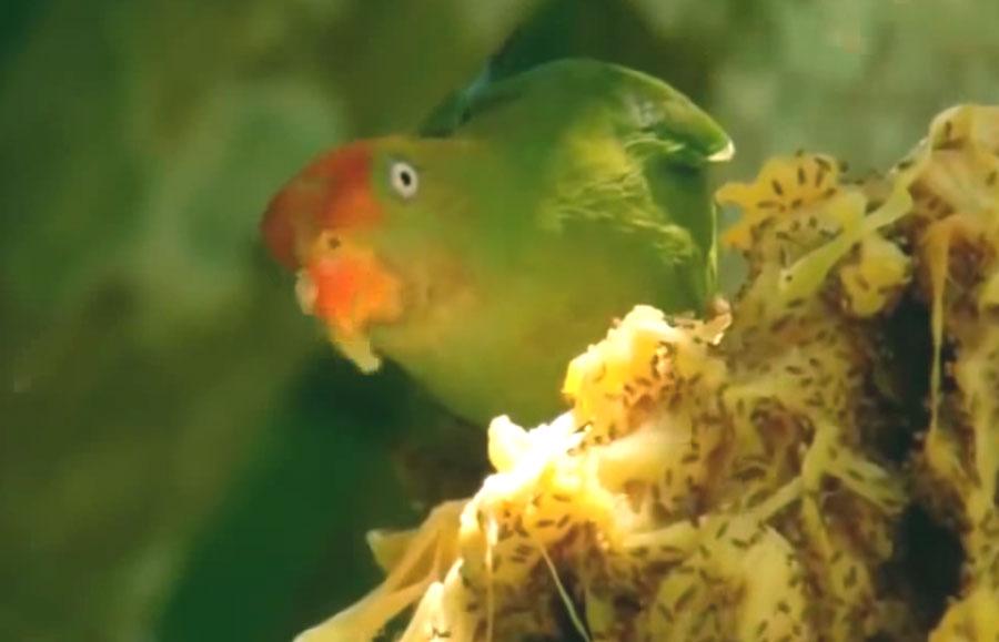 Sinharaja parrot, Kumana national park