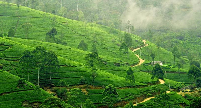 Tea plantations nuwara eliya