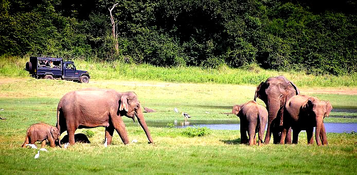 Minneriya National Park Safari, 4 Sri Lanka wildlife safari/s in a single circuit